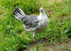 East Frisian Gull Chickens in the countryside