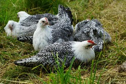 East Frisian Gull Chickens sun bathing