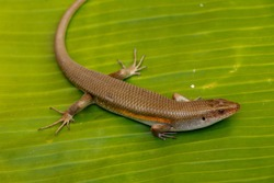 East Indian Brown Skin, Many-lined Sun Skink, or Common Sun Skink, while the scientific name, Eutropis multifasciata, East Indian Brown Skink in the wild. Lizards on green leave. Nature background