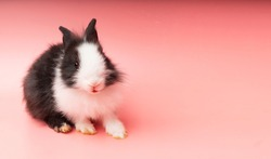 Easter animal concept. Lovely little black and white bunny standing over isolated pink background with copy space. Funny adorable fleecy rabbit.