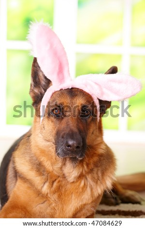 Easter bunny dog with rabbits ears on the head laying in home, German shepherd