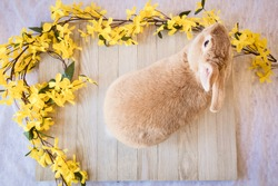 Easter bunny rabbit with yellow spring forsythia flowers on white textured floor and wooden board, top view