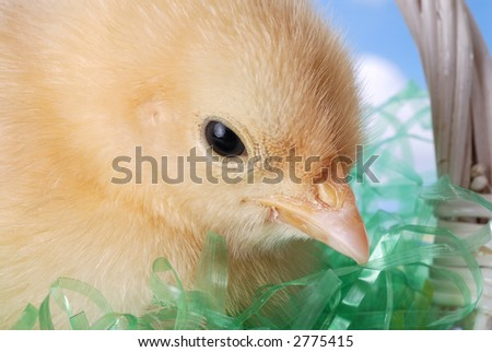 Easter Chick in a Basket