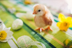 Easter chicken. Little orange chick walking among flowers and Easter eggs. Spring holiday season