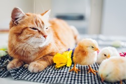 Easter chicken sleeping with kind cat. Little brave chicks walking by ginger cat among flowers and Easter eggs. Friends