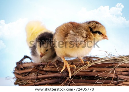 Easter Chickens! Young animals and holiday concept!