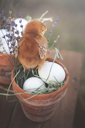 Easter chicks , easter eggs and dried lavender bunches
