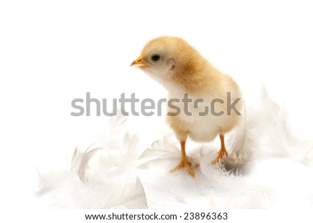 easter concept - chick and feathers on white