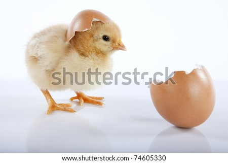 Easter concept image. One cute yellow baby chicken looking at an empty egg. High resolution image taken in studio, with reflection