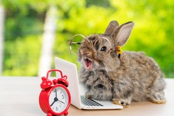 Easter holiday animal, technology e-learning concept. Baby bunny brown and grey with small laptop and alarm clock sitting on wood. Lovely baby rabbit wearing eye glasses on bokeh nature background.