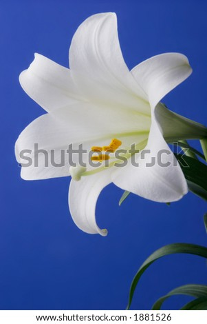 Easter Lily Closeup