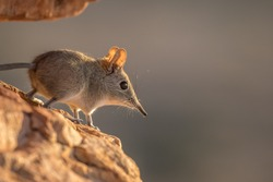 Easter Rock Elephant Shrew in the African Bush