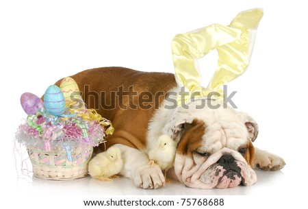 easter time - english bulldog bunny with baby chicks and easter basket on white background