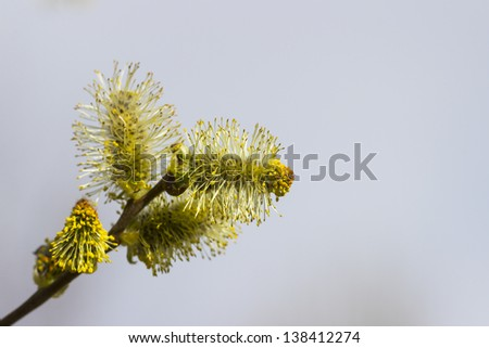 Easter willow branch