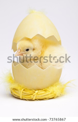 Easter young chick