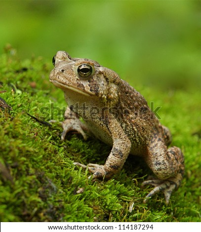 Eastern American Toad Frog on moss covered forest floor with green background; suburban Philadelphia, Pennsylvania, USA