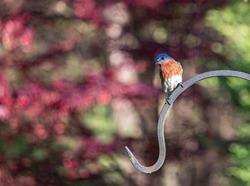 Eastern Blue Bird on metal hook in evening sun.