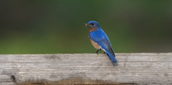eastern blue bird perched on tree branch, fence, or stump