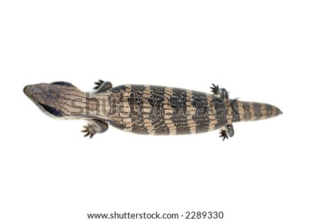 Eastern Blue Tongue Lizard (Tiliqua scincoides) isolated on white, a creature with attitude!