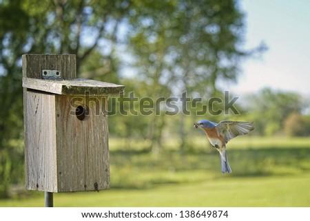 Eastern Bluebird Flying into Nesting Box