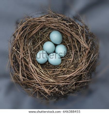 Eastern Bluebird Nest Against Steel Blue Background (Square Format) #646388455