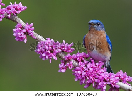 Eastern Bluebird on Flowering Eastern Redbud Branch, horizontal format