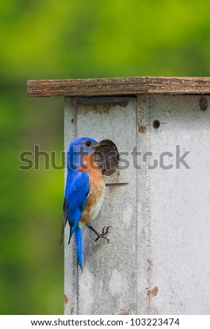 Eastern bluebird peers into a nesting box looking for a suitable home. Brilliant blue feathers mixed with his reddish orange colored breast stand out against the forest greens.