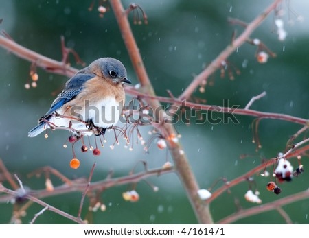 Eastern bluebird perched on branch in light winter snow