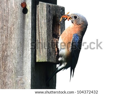Eastern Bluebird (Sialia sialis) on a birdhouse with a worm - Isolated on a white background