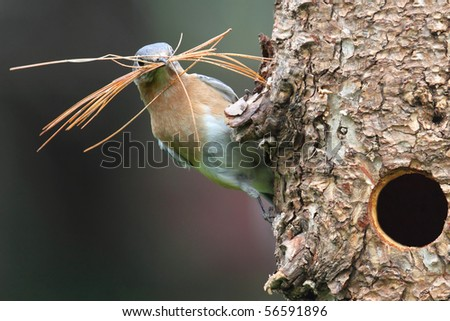Eastern Bluebird (Sialia sialis) on a log with nesting material