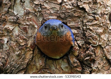 Eastern Bluebird (Sialia sialis) on a tree in a nest hole - stock photo
