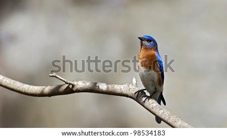 eastern bluebird sitting on a branch