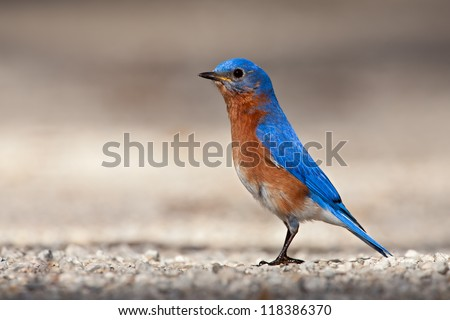 Eastern Bluebird standing on gravel road.