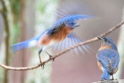Eastern Bluebird Watching Another Bluebird Teetering on Branch in Blur of Action