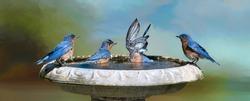 Eastern Bluebirds Frolicking in Bird Bath