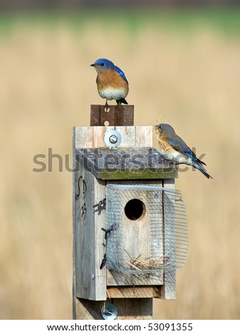 Eastern Bluebirds on Nesting Box