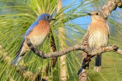 Eastern bluebirds (Sialia sialis) perched on long leaf pine tree as the male looks at female, pine needles and blue sky background, feather detail, eyes in focus, selective focus