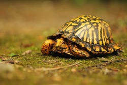 Eastern Box Turtle on Mossy Ground