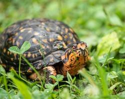 Eastern Box Turtle (Terrapene carolina Carolina) has bright coloration including red eyes