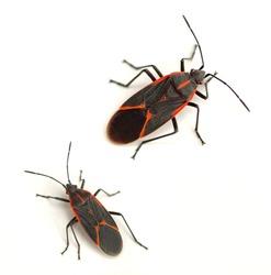 Eastern boxelder bug (Boisea trivittata)