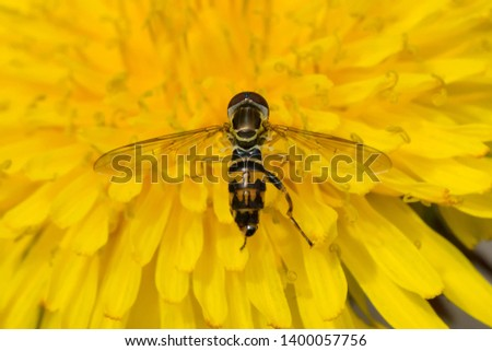 Eastern Calligrapher collecting nectar from a yellow Dandelion. Taylor Creek Park, Toronto, Ontario, Canada. #1400057756