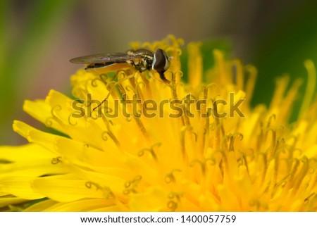Eastern Calligrapher collecting nectar from a yellow Dandelion. Taylor Creek Park, Toronto, Ontario, Canada. #1400057759