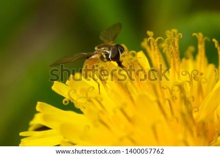 Eastern Calligrapher collecting nectar from a yellow Dandelion. Taylor Creek Park, Toronto, Ontario, Canada. #1400057762