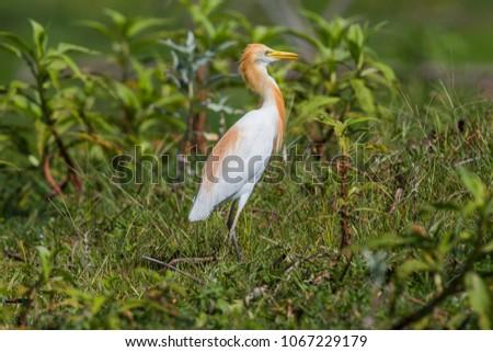 Eastern Cattle Egret; Bubulcus coromandus on green meadow. #1067229179