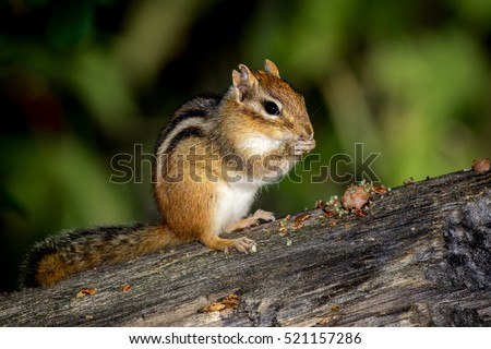 Eastern Chipmunk - Tamias striatus, sitting on a fallen tree, eating a meal.