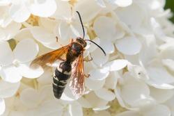 Eastern Cicada Killer Wasp, Sphecius speciosus
