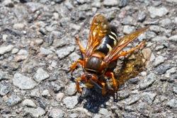 Eastern Cicada Killer Wasp, (Sphecius speciosus)