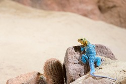 eastern collared lizard (lizard with a blue body color and a yellow head)