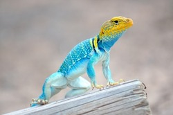 Eastern Collared Lizard perched on a fence post.