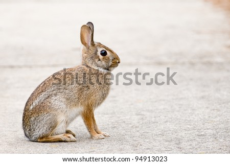 Eastern Cottontail Bunny Rabbit